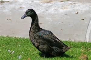 Cayuga Duck