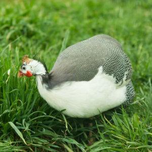 Guinea Pied