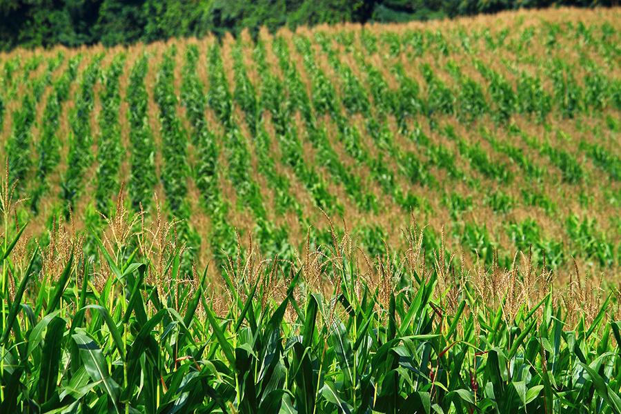 corn page 1
